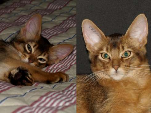 somali cat face and ears