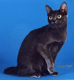 Korat cat - pictures of cats