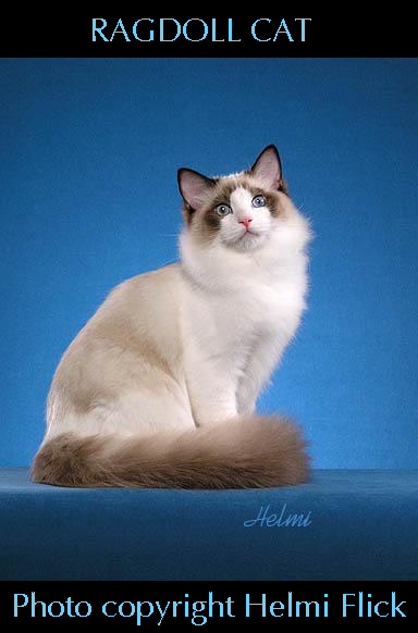 Ragdoll cat Tom Cruise