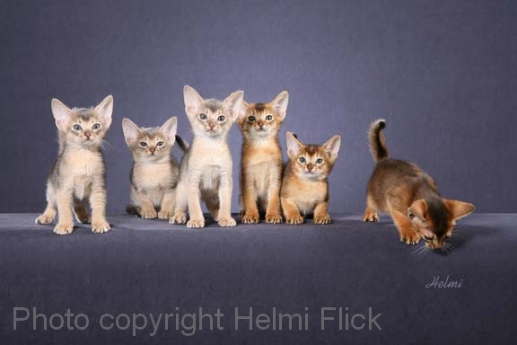Six Abyssinian Kittens