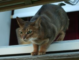 Abyssinian cat at a window