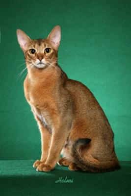 Abyssinian Cat - Hawkeye - photograph copyight Helmi Flick