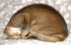 Abyssinian cat curled up