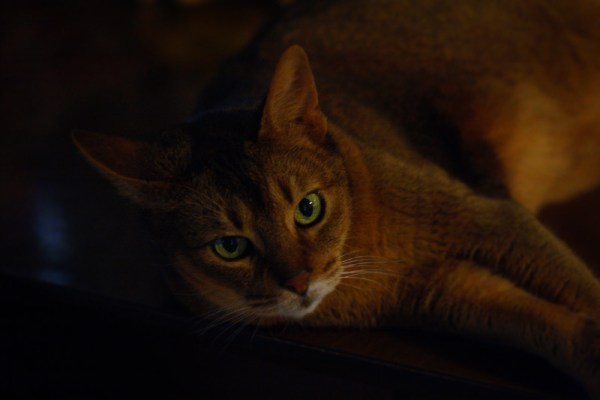 Abyssinian cat green eyes- pictures of cats