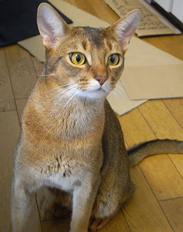 Abyssinian cat - pictures of cats