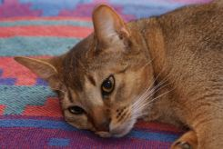 Abyssinian cat lying down - pictures of cats