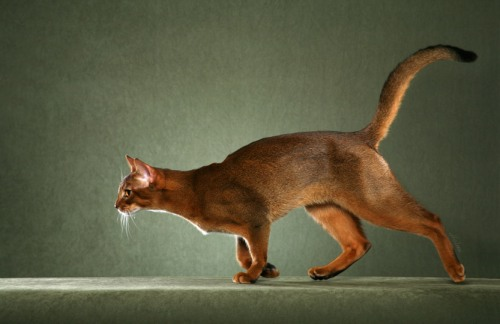 Abyssinian cat photo by Helmi Flick