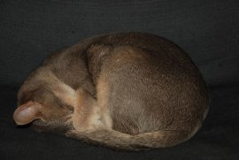 Abyssinian cat ticking