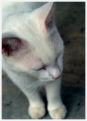 albino cat deaf - cat pictures of cats