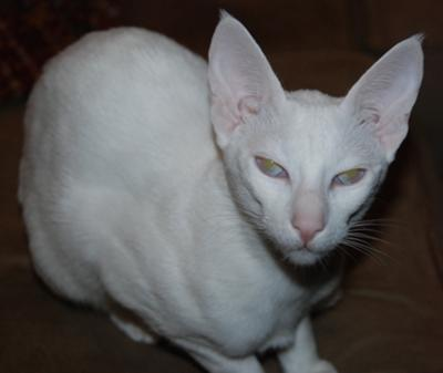 bengal cat domestic