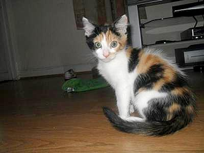 Calico cat Alfie