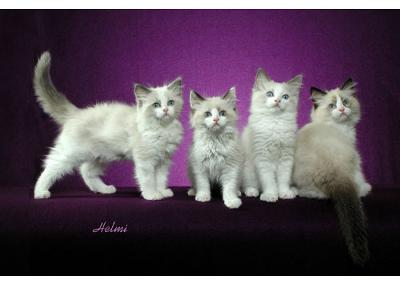 Four Ragdoll Kittens - Photo copyright Helmi Flick.