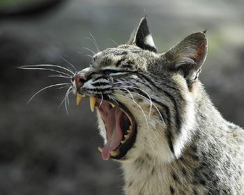 Having a pet lynx (bobcat) - The Club House