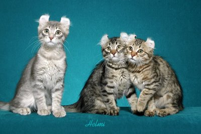 http://pictures-of-cats.org/wp-content/uploads/images/american-curl-kittens.jpg