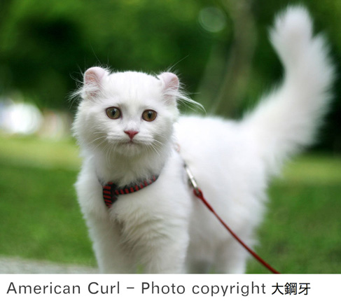 American curl cat white cat