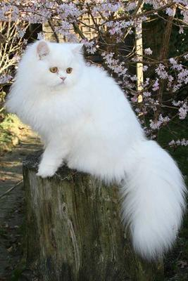 Traditional white Persian cat -
