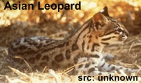 asian leopard cat Bengal cats for sale