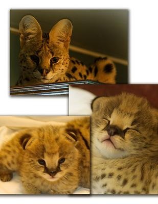 Beautiful Woodland African Serval Kittens for Adoption