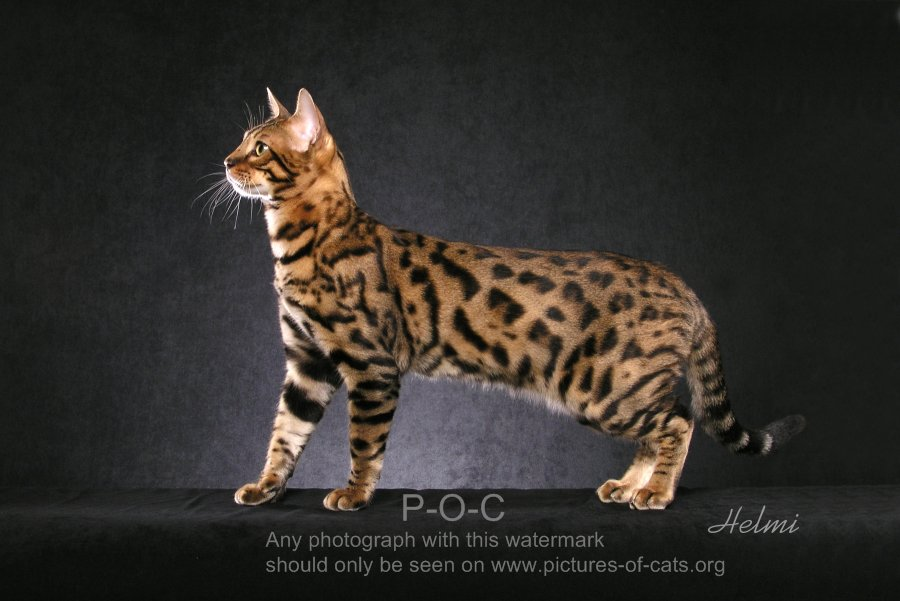 Bengal Cat MOMO