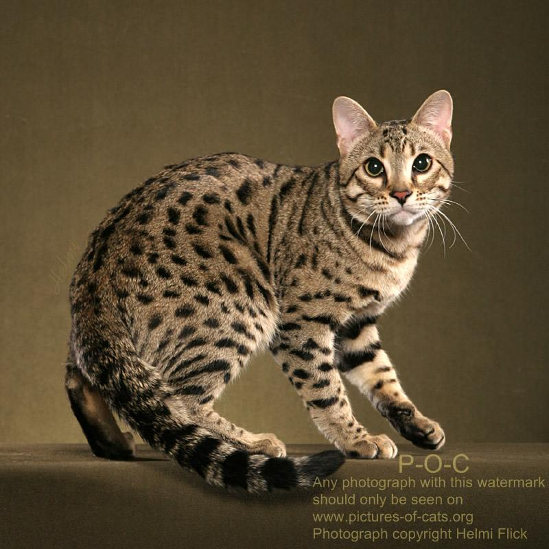 Photograph ©copyright Helmi Flick: pictures-of-cats.org/bengal-cat-RAVI.html