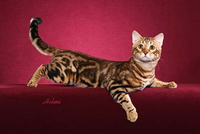 bengal cat breeders pictures of cats cat breeders 400x267