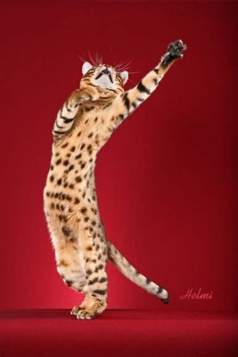 Above bengal cat kopa dancing balletically while being photographed