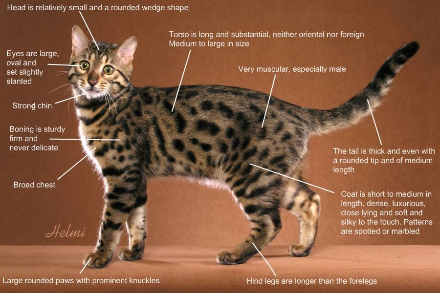 Benagal cat profile