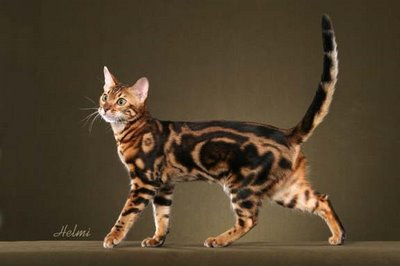 Mini Bengal Cat Bengal Cat