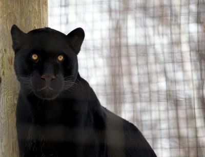 black cat - Jaguar - pictures of cats