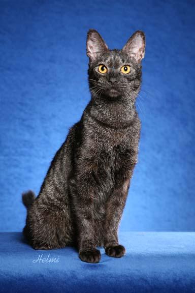 Black Chausie Cat