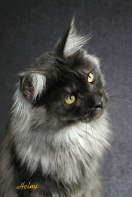 QUIN -- Black Smoke Maine Coon Cat - photo copyright Helmi Flick