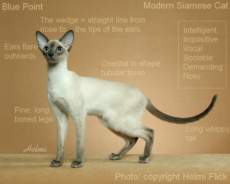 Blue point Modern Siamese cat