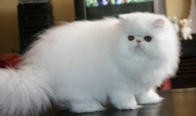 Persian cats in dubai