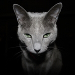 Russian Blue Cat - reproduced under creative commons, credit: Sensual Shadows Photography