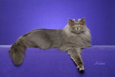 British Longhair Cat - Robyn - photo copyright Helmi Flick - please respect copyright.