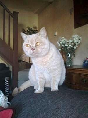 British Shorthair Prudence