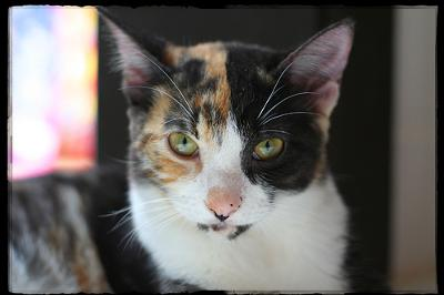 This is a calico cat MAYA photographed by Giane Portal on Flickr