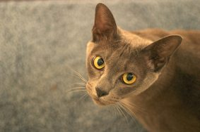 Burmese Cat (European)