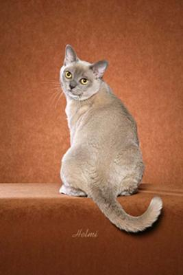 American Burmese Cat Candido - this is a photo added by Michael (Admin) - photo copyright Helmi Flick
