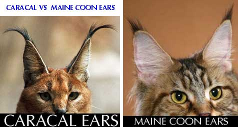 caracal versus Maine Coon ears
