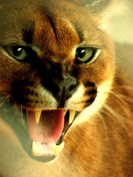 caracal snarling