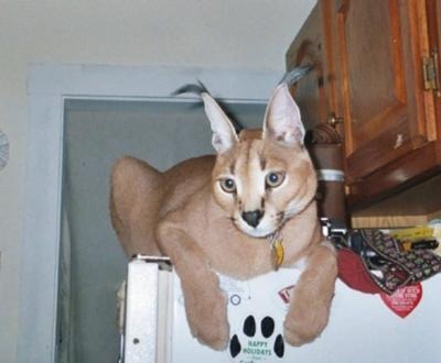 Caracal on top of fridge in home