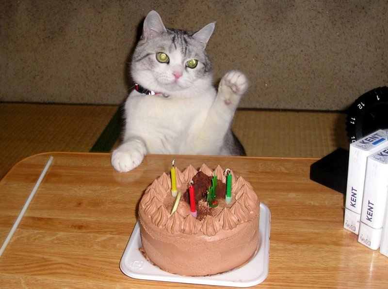 cat image of cat with cake