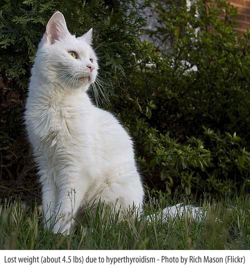 white cat losing weight