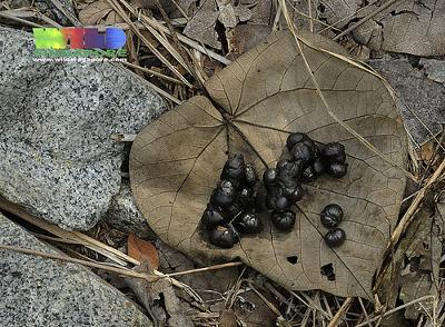 Believed to be Civet poo - Photo by wildsingapore