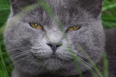 The contented face of a cat called PROZAC - photo by tocas (Flickr - see base of page for link)