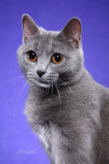 Chartreux Cat Picture 1