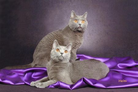 Chartreux kittens – photo