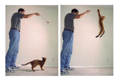chausie cat jumping
