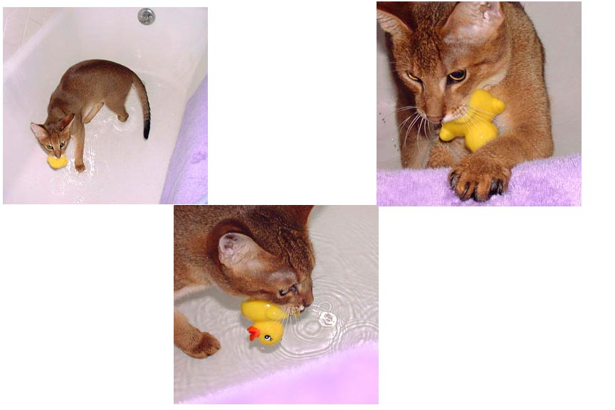chausie in water
